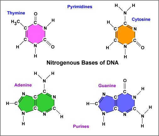 DNAbases